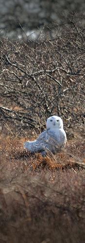 #0442 - Snowy Owl Sitting Pretty.jpg