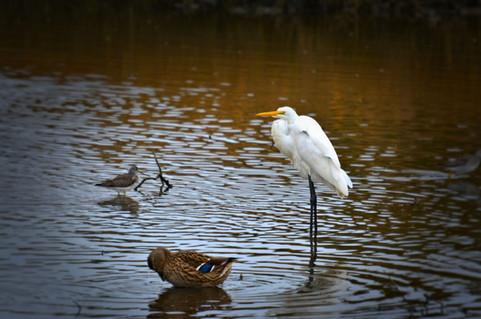 Great Egret 15