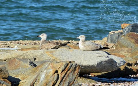 Seagulls 11