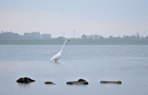 Great Egret 11