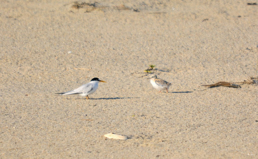 Least Tern with baby
