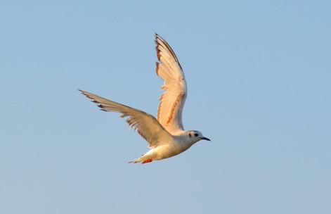 Bonaparte Gull 2