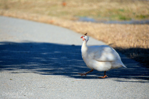 Guinea Fowl  3