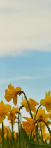 #0142 - Sankaty Daffodil.jpg