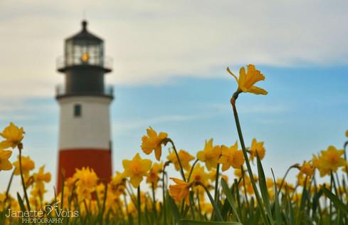 #0142 - Sankaty Daffodil