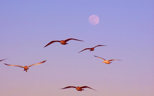 Seagulls in the Moonrise