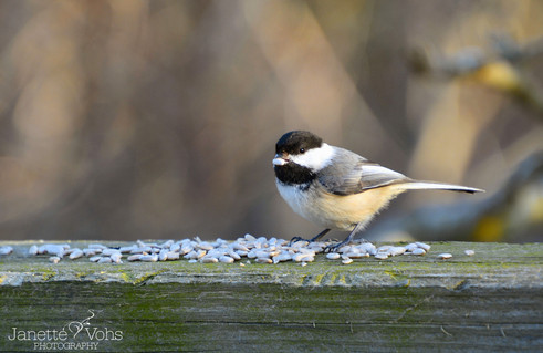 Black-capped Chickadee with a snack