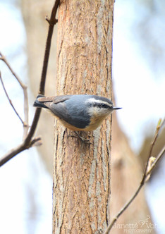 Red-Breasted Nuthatch 1