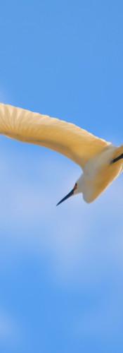 Snowy Egret 2.jpg