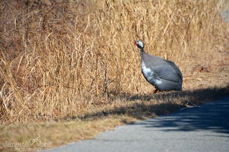Guinea Fowl  6