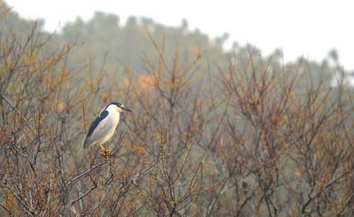 Black-Crowned Night Heron 3