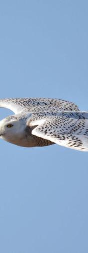 #0445 - Snowy Owl Flying.jpg