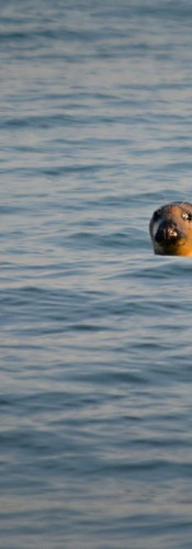 #0207 - Seal Peeking Out of the Water.jp