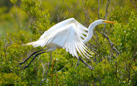 Great Egret 10