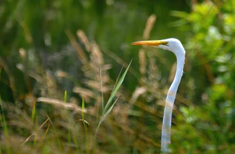Great Egret 13