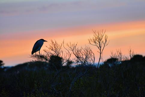 Black Crowned Night Heron  DSC_6094v.jpg