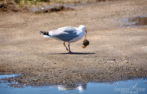 Seagull 21
