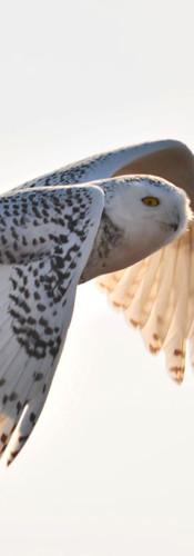 #0443 - Flight of the Snowy Owl.jpg