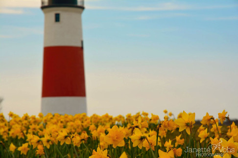 #0183 - Sankaty Daffodil Fields