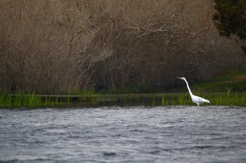 Great Egret 14