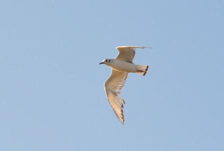 Bonaparte Gull 3