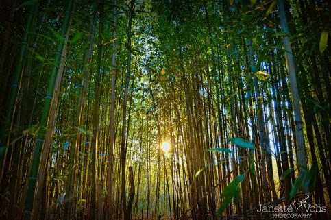 #0226 - Sunset Thru the Bamboo