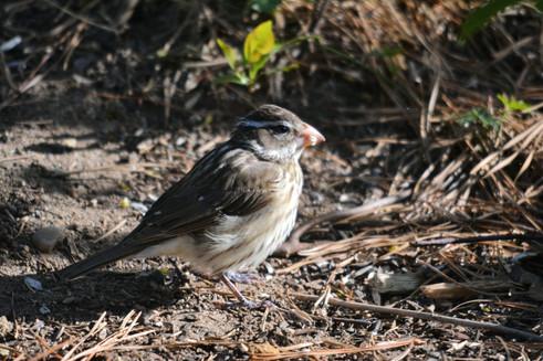 Rose-Breasted Grosbeak - Female 1