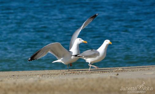 Seagulls 16