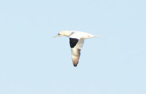 Northern Gannet 2