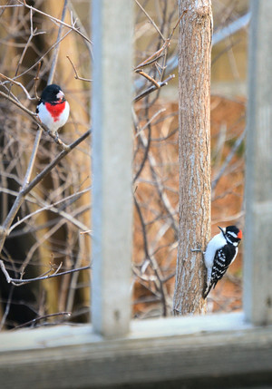 Rose-Breasted Grosbeak with Downy Woodpecker  1