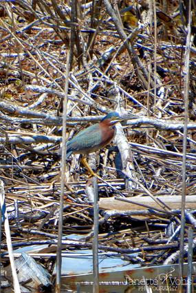 Green Heron 3