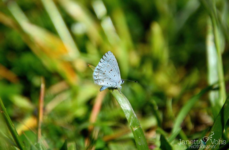 Blue Azure Butterfly