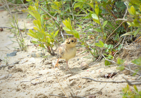 Baby Pheasant 1