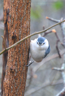 White-Breasted Nuthatch 2