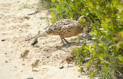Female Pheasant with Offspring