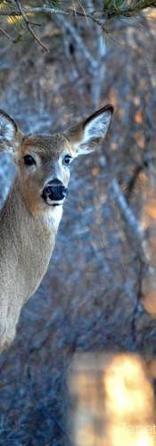 #0373 - Deer with Golden Leaves Portrait