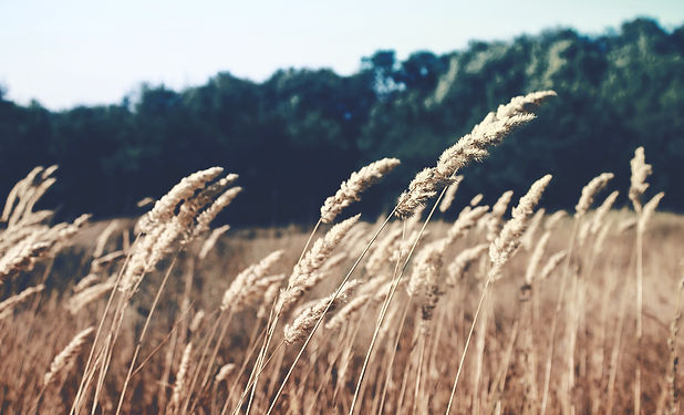 Wheat Field_edited.jpg