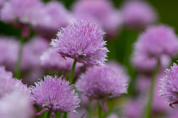Spring Chive Blossoms