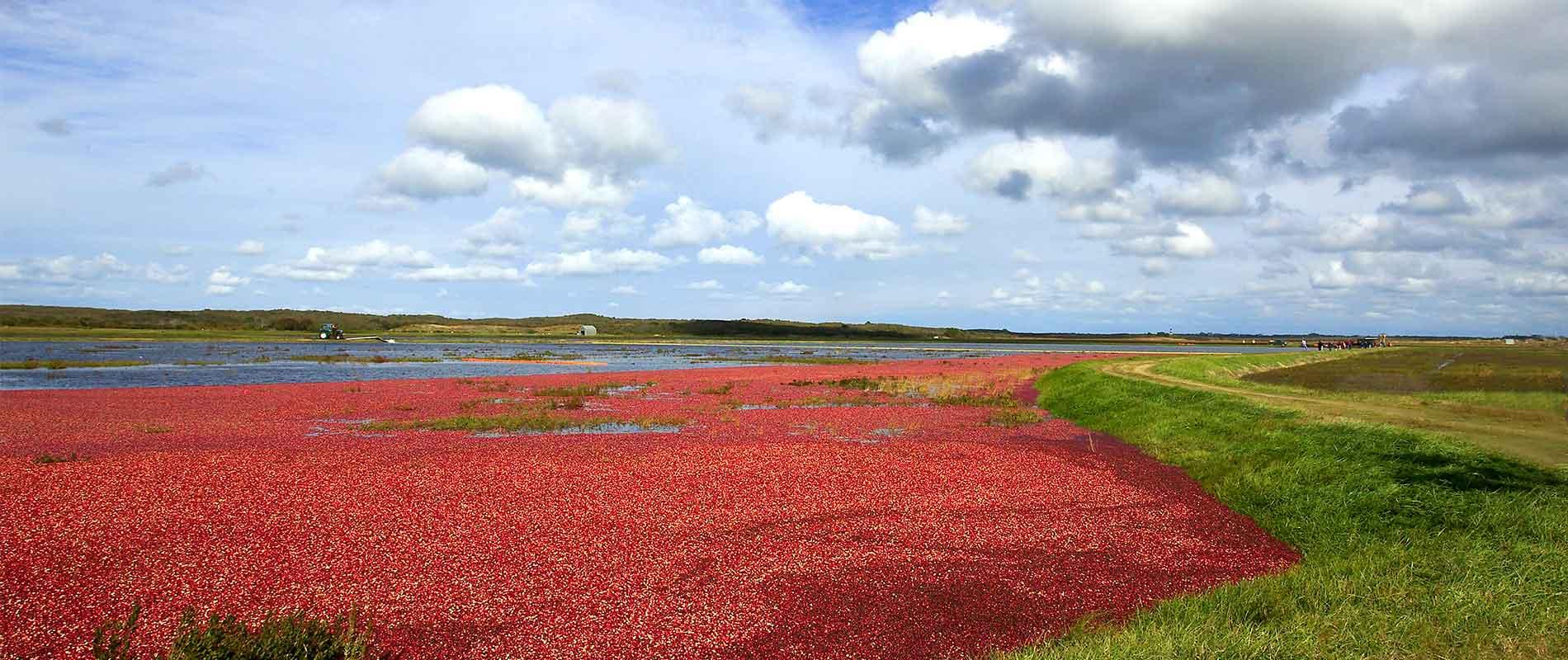 Celebrating Nantucket Cranberries