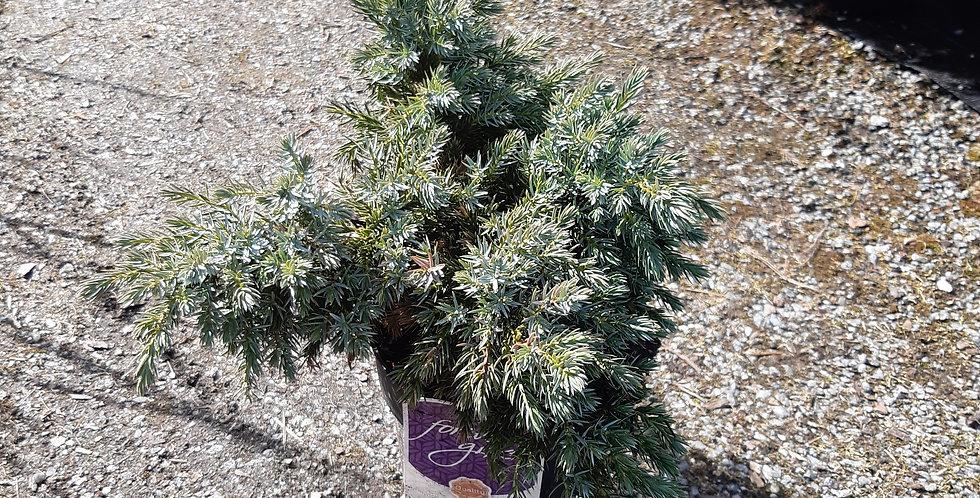 Juniperus squam 'blue star'