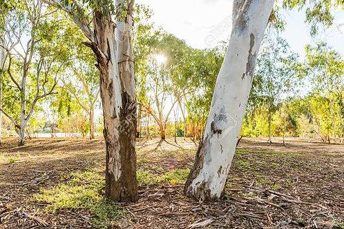 Plant 100 trees in rural Australia