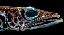 Bioluminescence Cruise: Vision in the Deep Sea: Blog 5