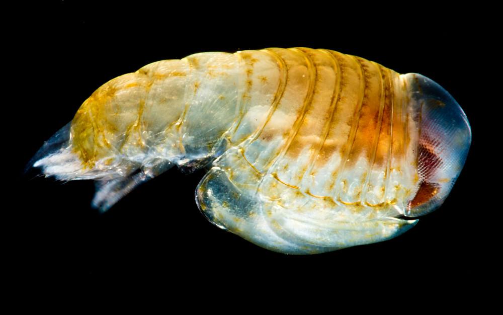 Platyscelus ovoides