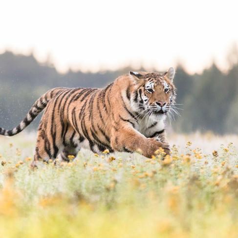 Tygr ussurijský ..
