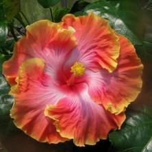 Tahitian Ultrabright