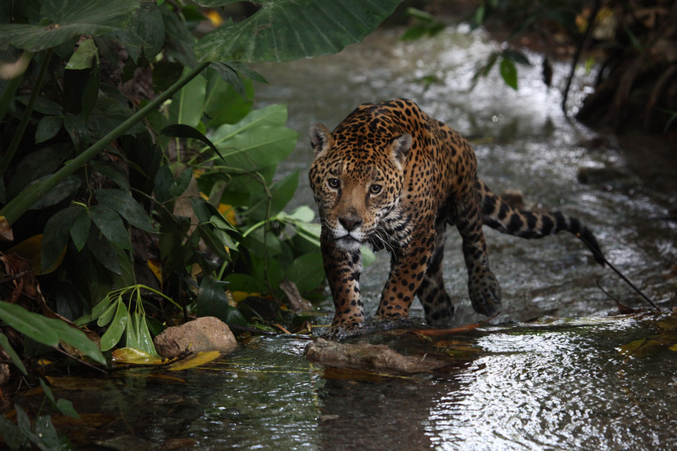 Foto Jaguar por G. Ceballos2.JPG