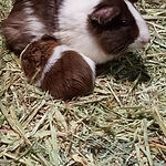Little Paws Animal Rescue Guinea Pig