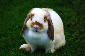 holland-lop.jpg