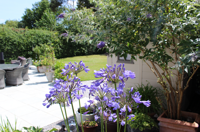 Beautiful Agapanthus on a sunny day.