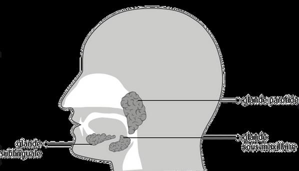 les glandes salivaires.png